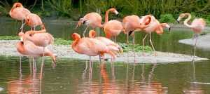 flamingos_slimbridge